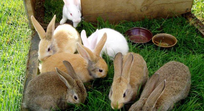 Самая крупная порода кроликов
